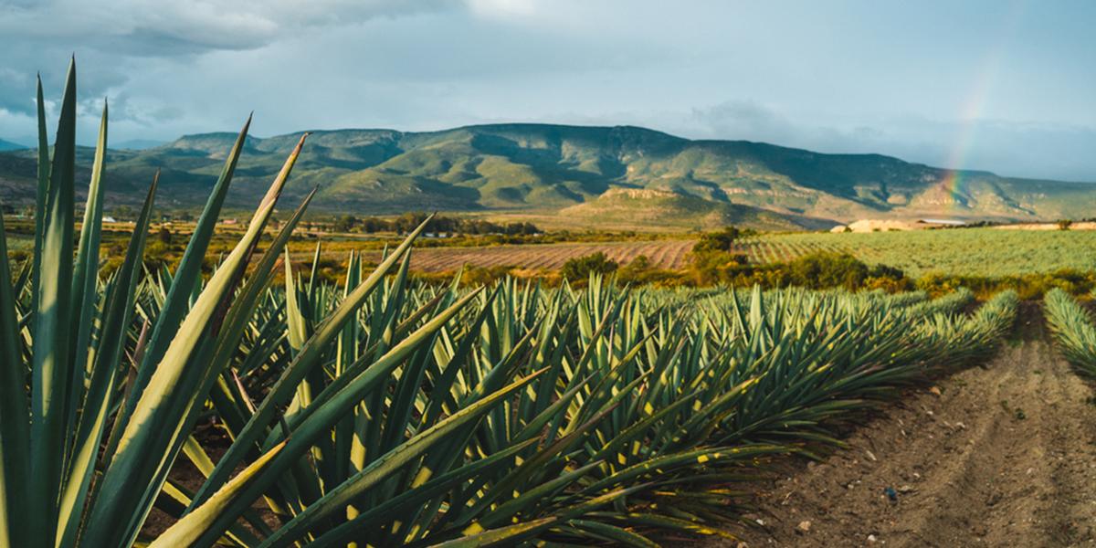 La Industria del Tequila y China